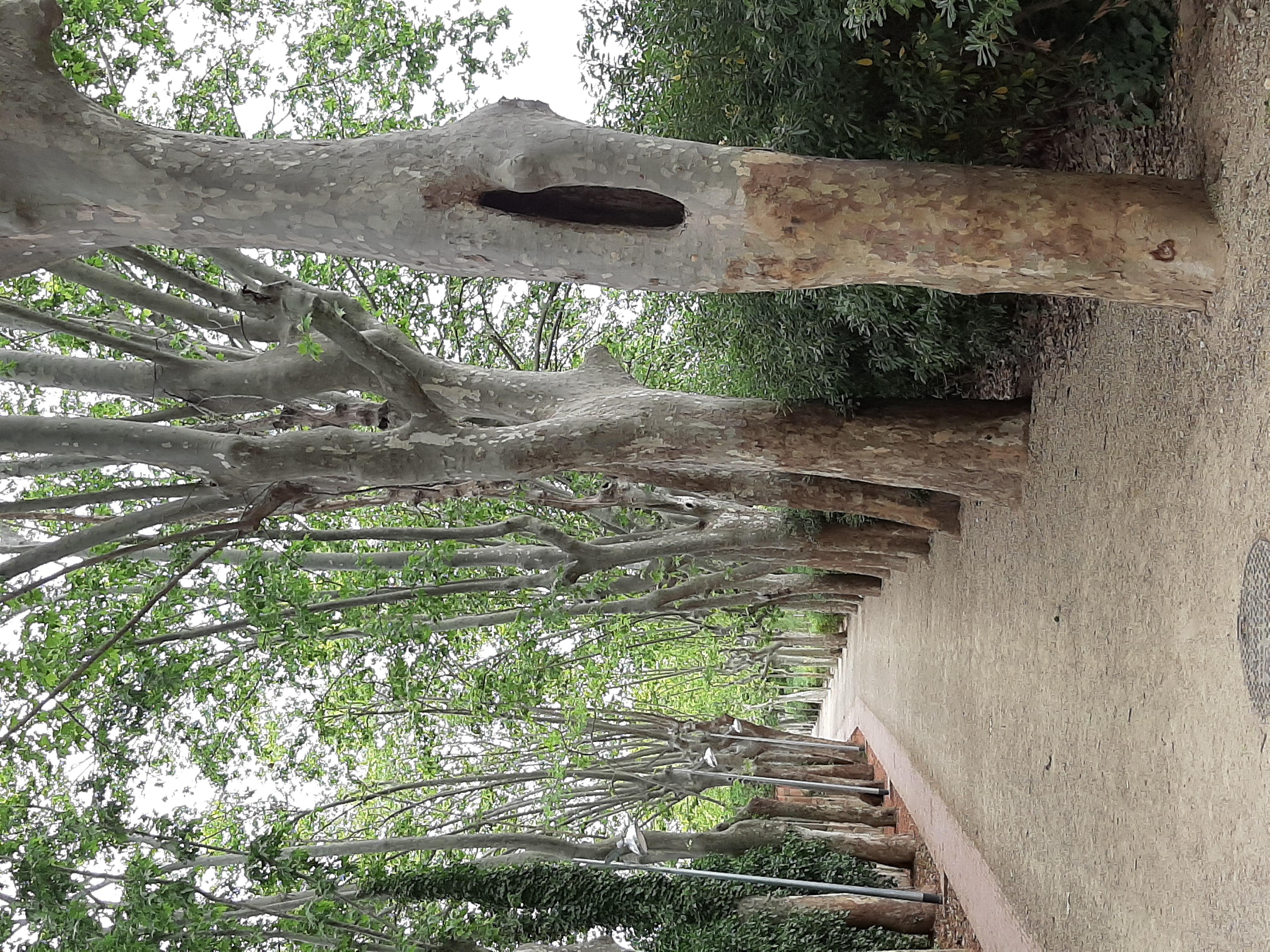 Els arbres del passeig